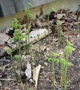 Unrolling fern fronds.
