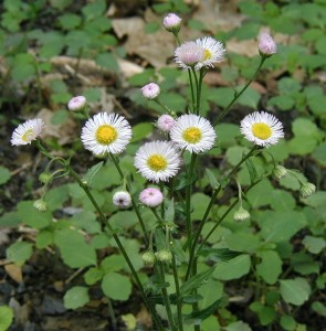 Ray flowers number more than 100 in this Common Fleabane.