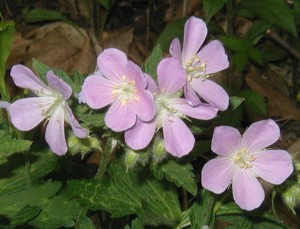 Close up image of wild geranium blooms.