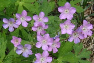 Pink to faded blue flowers of wild geranium.