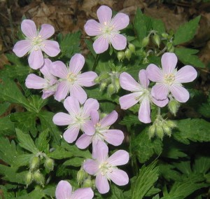 Blooming wild geranium on 2 May 2010.