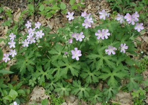 A nice specimen of wild geranium along the lane near the pond on 2 May 2010.