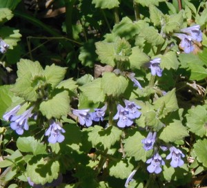 Springtime flowers of ground-ivy or gill-over-the-ground.