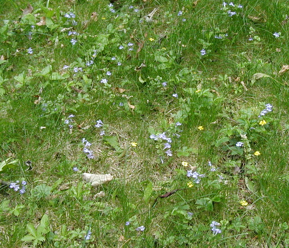 Yellow and blue flowers dot the lawn yard wildeherb blue and yellow yard flowers izmirmasajfo