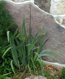 Yellow iris foliage and flower buds.