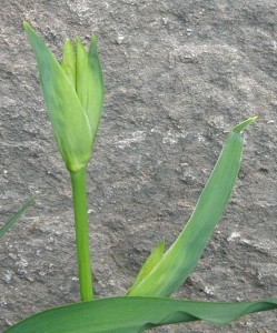 Three flower buds of the yellow flag or yellow iris.