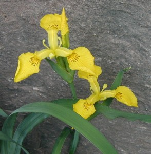 Beardless yellow iris flowers. Photo taken 7 May 2010.