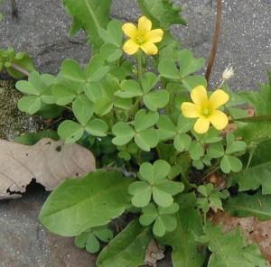 Small yellow oxalis came up through cracks between flagstones.