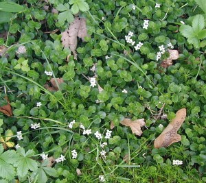 Low-growing partridgeberry with its twin flowers.