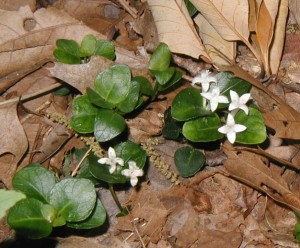 Partridgeberry on the forest floor with old oak leaves.