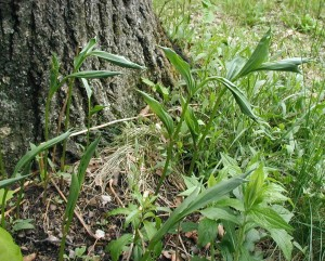 False Solomon's Seal leaves sprouting from the ground.