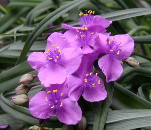 Pretty Spiderwort flowers.