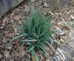 Leaves of spiderwort are already up 8-10 inches.