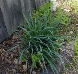 Spiderwort greenery getting taller.