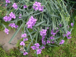 Heavy blooms of spiderwort made the flower stems bow down to the ground.