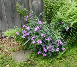 Many purple-blue flowers of spiderwort.