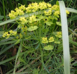 Linear leaves under the yellow-green cypress spurge flowers.