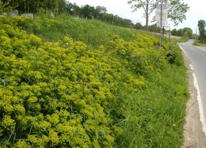 Roadside view of yellow-green plants.