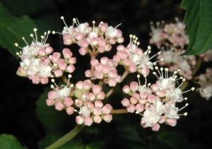 Pink flower buds of maple-leaved viburnum.