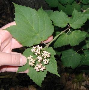 Maple-like leaves in pairs.