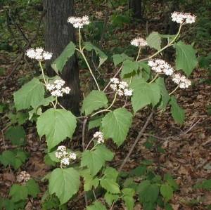 Clusters of maple-leaved viburnum flowers.