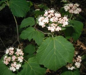 Flower cluster and leaf of maple-leaved viburnum.