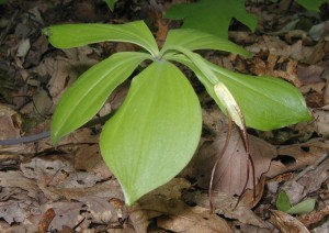 Photograph of Whorled Pogonia on 17 May 2010.
