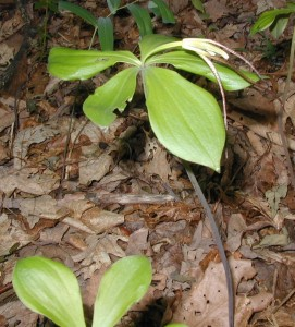 Flowering Whorled Pogonia with parallel-veined leaves.