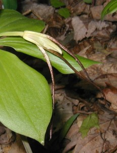 Extra long sepals of the flowering pogonia orchid.