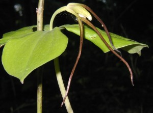 Edge-on view of a whorled pogonia flower. Photo taken 15 May 2010.