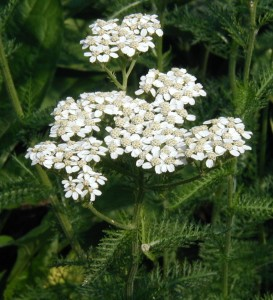 A cluster of yarrow flowers.