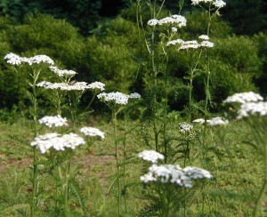 A side view of a patch of yarrow flowers.