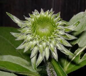Young composite flower head of Echinacea purpurea.