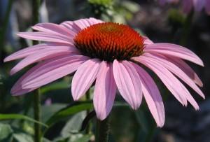 Pink petals of a young Echinacea purpurea flower.