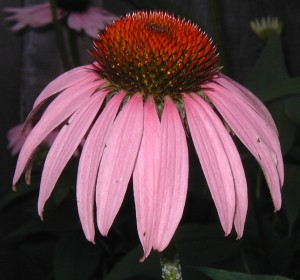 Swept back petals of Purple Coneflower with its orange disc flowers.