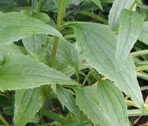 Toothed leaves of Echinacea purpurea.