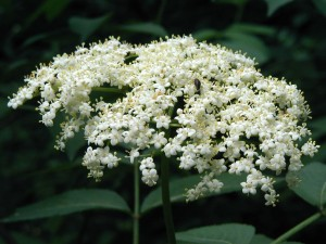 Close-up view of an elderflower cluster.