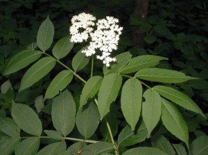 Elderflower cluster and compound leaves.