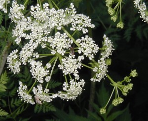 Close-up view of poison hemlock flowers held in umbels.