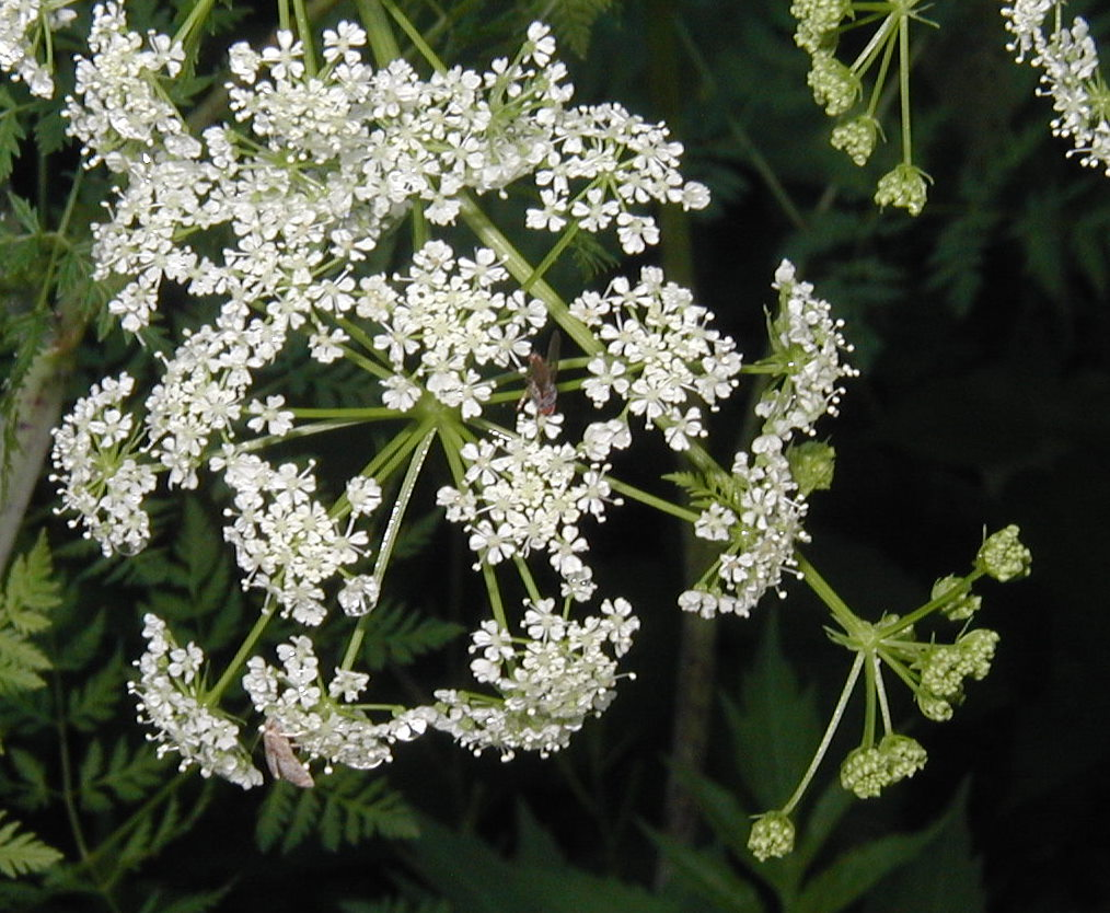Poison hemlock prolific in the fence rows close up view of poison hemlock flowers held in umbels mightylinksfo
