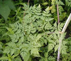 A single compound leaf of poison hemlock.