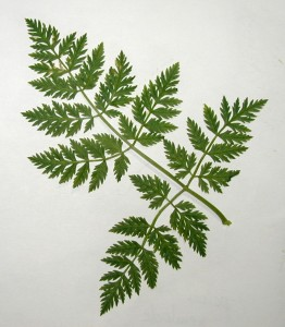 A single leaflet, one of three, of poison hemlock.