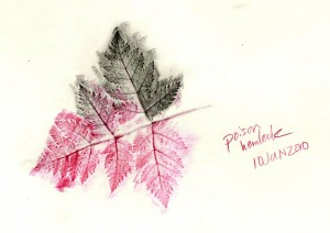 Pencil rubbing of partial leaflet of Poison Hemlock.