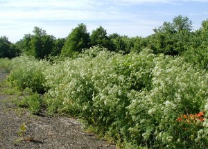 Poison hemlock growing in an open area at the edge of a parking lot.