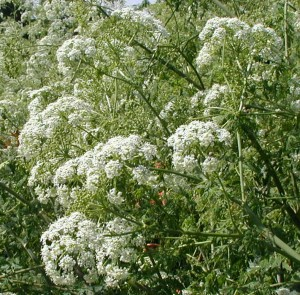 Many small white flowers, less than a quarter-inch across, held in umbels.