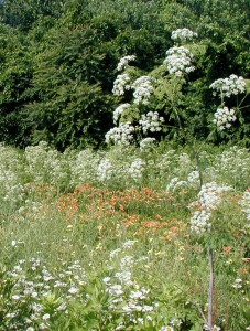 The rounded umbels of poison hemlock make it easy to spot along fence rows.