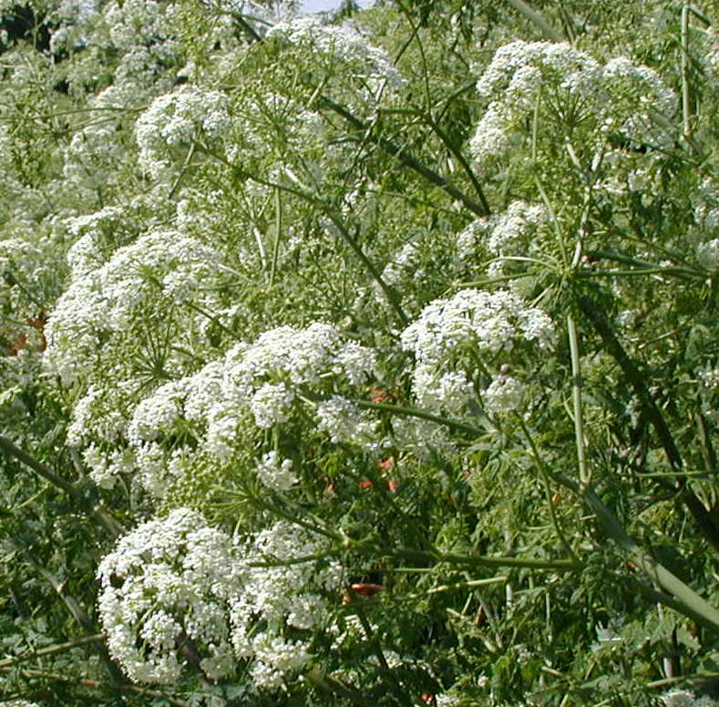 Poison hemlock prolific in the fence rows wildeherb many small white flowers less than a quarter inch across held in umbels mightylinksfo