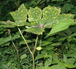 Mayapple fruit at the fork of two large umbrella-like leaves.