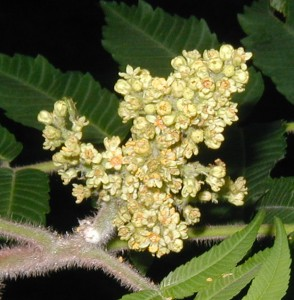 Another view of Staghorn Sumac blooming.