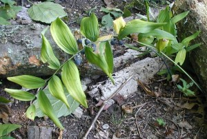 Two wild Solomon's Seal plants with one crossing over the other.